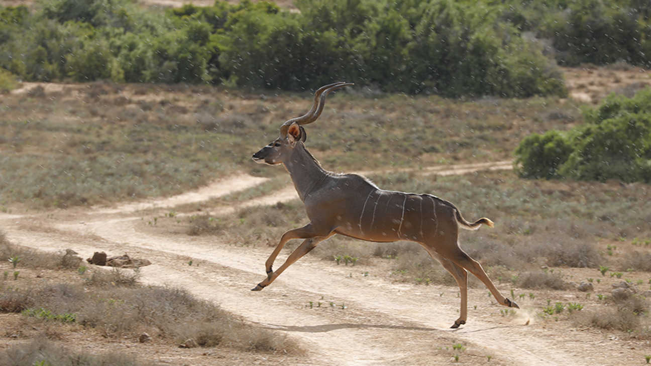 A Kudu running in the remote areas of South Africa.